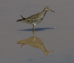 Pectoral Sandpiper (AllHarts) Tags: lesseryellowlegs northplant memphistn thesunshinegroup naturescarousel ngc