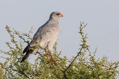 Adult Pale Chanting Goshawk - Melierax canorus (rosebudl1959) Tags: 2017 botswana adultpalechantinggoshawk centralkalaharigamereserve