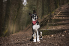 Such a poser... (carl.walker) Tags: husky dog puppy collie oldham shaw dunwood dunwoodpark photography nikon nikon70200 petportrait petphotography