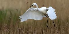 Great white egret ~ Ardea alba (Cosper Wosper) Tags: greatwhiteegret ardeaalba somerset levels reeds white bif
