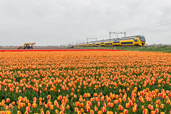 2017.04.21_12159_Hillegom_VIRM_9558 en 9596 (rcbrug) Tags: bollen flowerbulbs flowerfields tulips tulpen bloemencorso hillegom virm