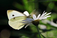 a study in white (alden0249) Tags: australianwildlife butterflies garden insects nature