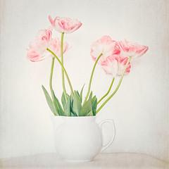 Tenderness (macplatti) Tags: tender rose tulips green gruen rosa tulpe white porzellan porcelain flora springtime fruehling vintage classical koblach vorarlberg austria aut
