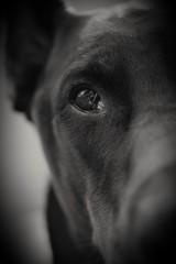 Dobermann (a.sabrina5581) Tags: hund dog doberman dobermann bw tier animal schwarzweis schwarz weis black white nikon auge eyes