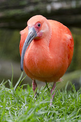 Scarlet ibis / Rode ibis / Eudocimus ruber (Greeney5) Tags: scarletibis ibis rodeibis eudocimusruber eudocimus bird vogel aves gaiazoo rood red