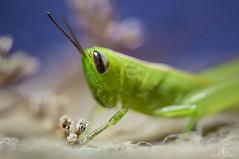 Grasshopper (Midori (K)) Tags: grasshopper nature macro