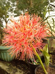 African blood lily (Herawandih) Tags: scadoxusmultiflorus endih herawandih endihherawandih phonephotography africanbloodlily amaryllidaceae