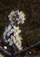 Prunus spinosa 2 (Thanks for +220.000 views) Tags: prunus spinosa aranyoner endrino blackthorn flor flower plant espès ribagorça ribagorza