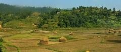 NEPAL, Auf dem Weg nach Pokhara, Bauern bei de Ernte, 16037/8300 (roba66) Tags: reisen travel explore voyages roba66 visit urlaub nepal asien asia südasien pokhara landschaft landscape paisaje nature natur naturalezza landwirtschaft bauern farmer ernte