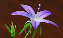Campanula (David Packman) Tags: flowers