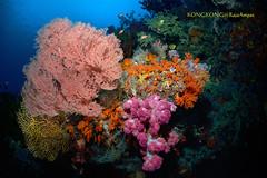 FLOWERS FOR YOU (kayak_no1) Tags: nikon d800e nauticamhousing 15mmsigmafisheye fisheye ysd1 underwater underwaterphotography wa wideangle diving scubadiving uw rajaampat indonesia passage gorgonian softcoral garden blue
