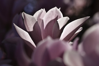 yet another magnolia