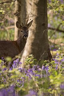 Buck in Bluebells