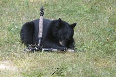 It's mine now! (Seventh day photography.ca) Tags: blackbear bear animal mammal wildanimal wildlife predator ontario canada summer