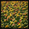 Tulips Galore (Ilan Shacham) Tags: flowers tulips field colorful painterly fill square view scenic fineart fineartphotography netherlands holland