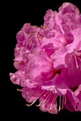 20170423_KCS_1679 (kaylaclare) Tags: flowers macro pink