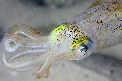 White Squid