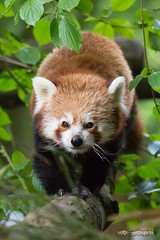 Roter Panda / Red Panda (burnett0305 - Thanks for over 175.000 views!) Tags: canon redpanda mammalia katzenbr ailurusfulgens carnivora kleinerpanda raubtiere sugetiere roterpanda ausrstung canonef100400mmf4556lisusm goldhund feuerfuchs canoidea canoneos5dmarkiii brenkatze hundertige