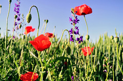 Poppy flower (Aleksandar Jeftic) Tags: life flowers blue red wild summer sky sun plant flower color green nature floral beautiful beauty field grass clouds rural scarlet garden season landscape countryside leaf spring purple natural blossom gardening outdoor meadow sunny clear poppy bloom agriculture herb herbal cloudscape herbage aroma