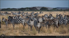 Herd of zebra, Serengeti (exposedplanet) Tags: africa kids danger tanzania community stripes group safari zebra afrika serengeti protection