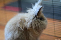 Ms. Winnie pause (Jason Scheier) Tags: pets cute bunny animal hair fur furry soft fluffy reflect creatures creature lionshead lionhead rabiit