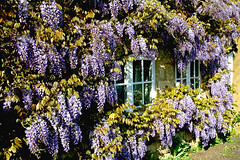 Wisteria Window (Trev Earl) Tags: flowers canon buckinghamshire 5d whitchurch wisteria