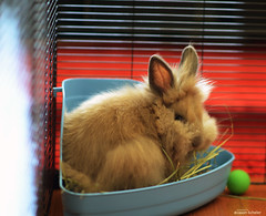 puffy one (Jason Scheier) Tags: pets cute bunny animal hair fur furry soft fluffy reflect creatures creature lionshead lionhead rabiit