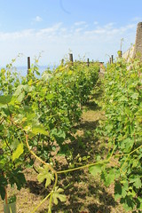 IMG_8220 (Fee Lo) Tags: sea mare amalficoast wine uva vigne salerno vino vini wines viti costieraamalfitana maiori tenuta vigneti costadamalfi aziendaagricolaraffaelepalma