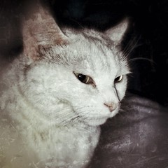 Snapseed pictures (lazyjane1977) Tags: cats white cute animal cat pretty fluffy mira whitecats flickrandroidapp:filter=none