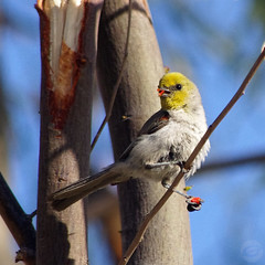 The Amazing Verdin (splinx1) Tags: california blue sky color green bird art nature yellow pentax bokeh scenic handheld pentaxkx verdin auriparusflaviceps birdbehavior pendulinetit smcpda55300mmf458ed slbfeeding pentaxart aviansecret