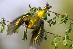 Siskin (John's Wildworld) Tags: birds siskins