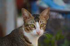 si onk (riski2014) Tags: animal cat indonesia palu kucing onk 55300vr sulteng flickrandroidapp:filter=none