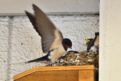ヒナに餌を与える親ツバメ (Parent Swallow Feed The Chicks)