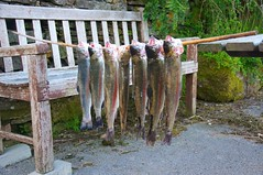 Seven Fat trout (morebyless) Tags: summer cane rainbow fat rustic rod trout heavy bending