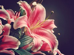 Lily flower two (Duy Thnh Trn) Tags: flowers vintage nice lily lovely amazingcolor