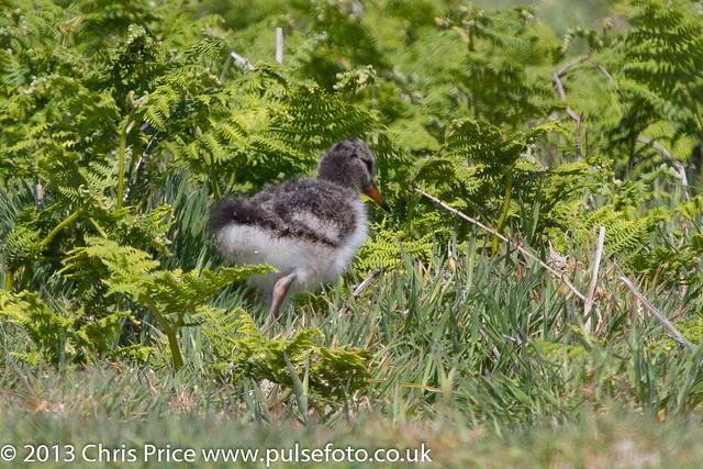 Oystercatcher Chick on Skomer