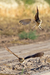 IMG_0446 Burrowing Owls Fledglings (lois manowitz) Tags: arizona birds raptors owls fledglings