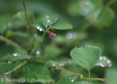 Water Drops (CJ,MJ&AddiesMummy (Katie)) Tags: life england plant flower green nature water leaves canon 50mm zoo droplets leaf drops branch dof bokeh south 18 paignton 650d beyondbokeh