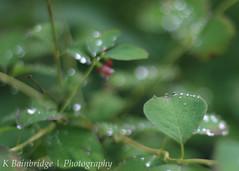 Water Drops (CJ,MJ&AddiesMummy (Katie)) Tags: life england plant flower green nature water leaves canon 50mm zoo droplets leaf drops branch dof bokeh south 18 paignton 650d beyondbokeh