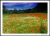 Poppy`s (Konrad Steidel (Thanks for over 1,30 Million views) Tags: flickrstruereflection2 flickrstruereflection3 flickrstruereflection5 vigilantphotographersunite vpu2