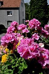 Blumen auf meinem Balkon (GelsenBuer) Tags: flowers summer plants sommer pflanzen blumen bloom blten