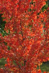 a japanese (cam17) Tags: fallleaves fallcolors autumncolours japanesemaple japanesemapletree sarniaontario redjapanesemaple sunlitjapanesemaple