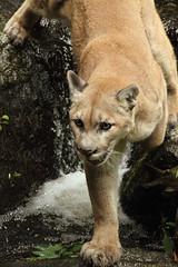 Mountain Lion (Stephanie Gorman) Tags: new mountain photography wildlife lion hampshire puma cougar catamount flickrbigcats gormanimagery stephaniegorman