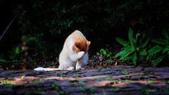 tímido.. (mauroheinrich) Tags: cats brasil cat nikon gatos gato nikkor nikondigital riograndedosul miau gatinho bichano nikonians ibirubá nikonprofessional fotógrafosbrasileiros fotógrafosgaúchos d300s 28300vr fotógrafosdosul nikonword mauroheinrich