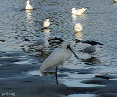 Birds at Little Lake Warilla....Lake Elliott (pat.bluey) Tags: friends birds ngc australia newsouthwales 1001nights birdwatcher spoonbill warilla flickraward spiritofphotography lakeelliott 1001nightsmagiccity hganimalsonly hg~sb sunrays5
