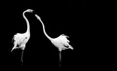 Pas de danse (Milian Pique) Tags: france nature animal rose noir pont combat blanc oiseau oiseaux camargue gau sauvage flamant