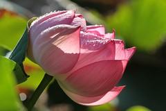 Lotus (kitz-travellers) Tags: flowers lotus sydney australia blumen nsw newsouthwales australien therocks botanicalgarden downunder botanischergarten