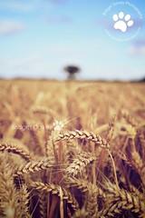 Autumn | Woburn, Bedfordshire (Bridget Davey (www.bridgetdavey.com)) Tags: autumn field yellow canon landscape corn cornfield afternoon beds wheat herbst farming harvest feld bedfordshire korn woburn kornfeld goldenlight h