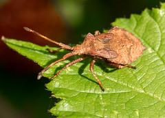 017 Dock Bug (Coreus marginatus) Brandon Marsh, Warwickshire 19 Aug 2013 (Lathers) Tags: warwickshire coreusmarginatus dockbug brandonmarsh canonef100f28lmacro wkwt 19aug2013