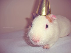 ready for party! (Lady_Heron) Tags: birthday party pet cute love animals fun guineapig funny cutie lovely petme